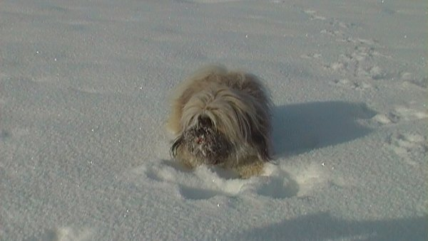 Chipsie dans la neige ! Trop heureuse ma louloute !