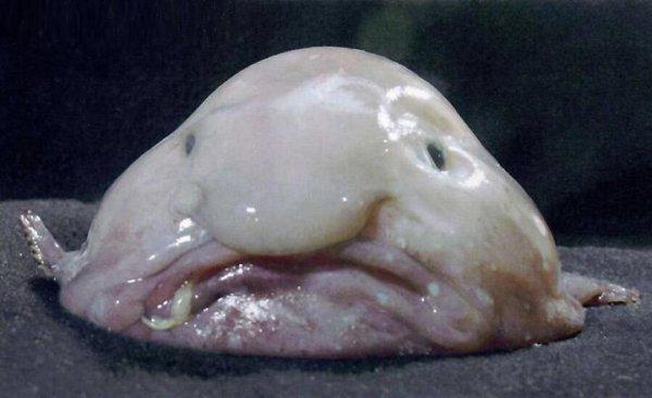 #Insolite On vous présente l'animal le plus laid du monde ! C'est le #Blobfish qui a été élu par la Société de Préservation des Animaux Laids ! #pouah Certes il est laid mais il est aussi en voie de disparition : http://bit.ly/1bsL4lt c'est triste non ?
