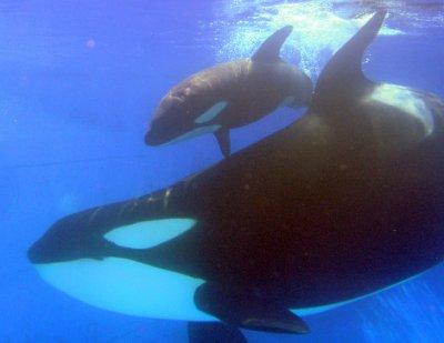 L'orque et son bébé