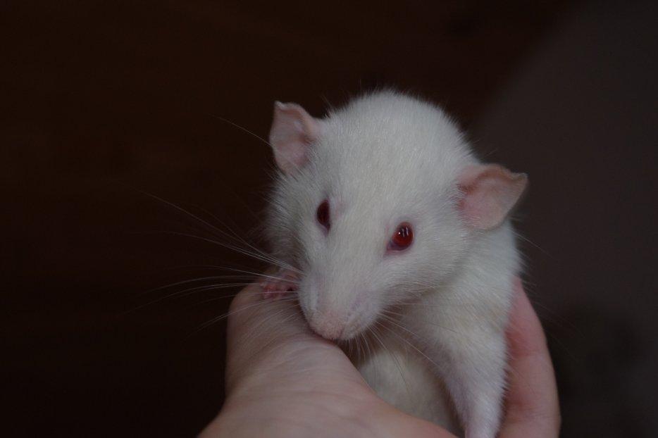 Blog de RAT-violis
