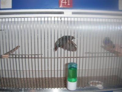 mon couple de bleu la femelle en vol! mal bpmtr femelle bpltn