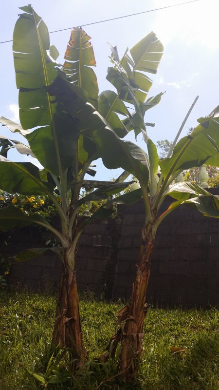 Le bananier et le régime de bananes