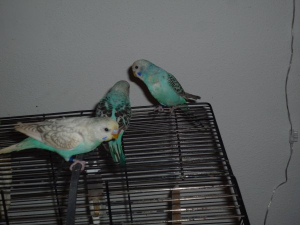 les petits perruchons EAM ont grandis