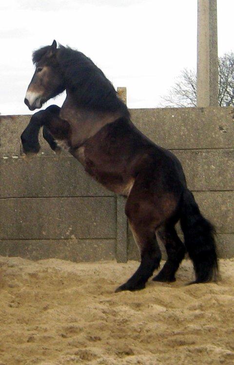 cheval de trait qui se cabre