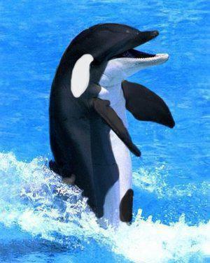Un dauphin-orque !