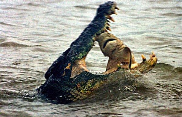 Les crocodiles sont plus puissant que les requins !