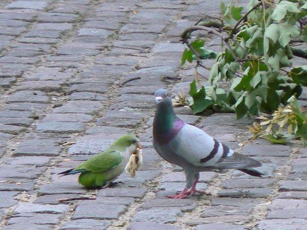 A Bruxelles les perruches et les pigeons ont quelques point commun