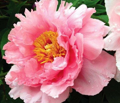 Taetaetown les fleurs de jimin theories about bts - Rouge comme une pivoine ...