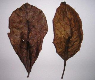 Feuille de Catappa ou / et feuilles de Chêne