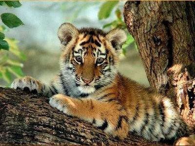 Bebe tigre un amour de tigre - Bebe tigre mignon ...
