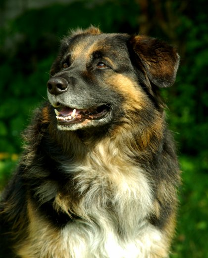 .....AU REVOIR, BRADOR.....27/07/2003-08/05/2016  Alix et moi pleurons notre plus fidèle compagnon ... presque 13 ans de fidélité et d'amour, 45 kilos d'affection, le plus beau et le meilleur chien du monde...on ne t'oubliera jamais, Doudoune, mon Grelou.....