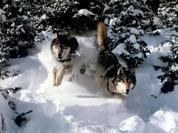 Amérindiens,loups (l) (l) (l)