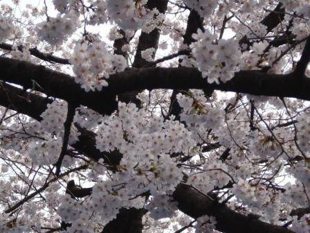 Les sakuras