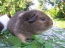Photo de guinea-pig-lOve
