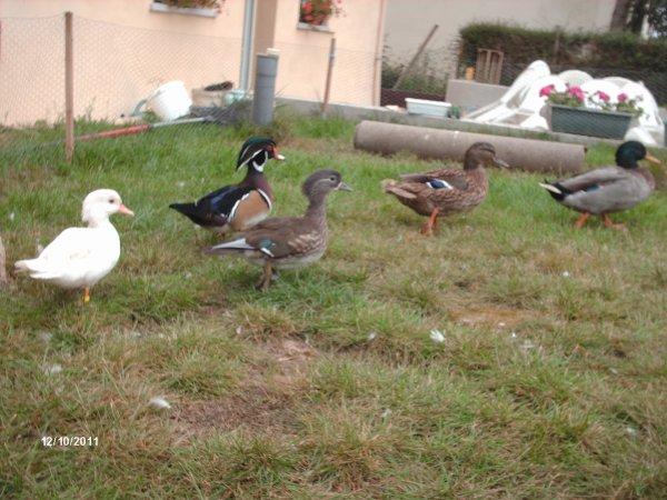 Mes canard d'ornement