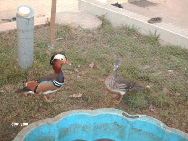 Mon couple de canards mandarin