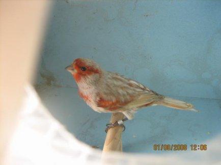 ------------LES  NOIRS ailes-grises rouge mosaique  à TOURS