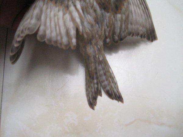 -------------les  ailes-grises  Zonés...___________