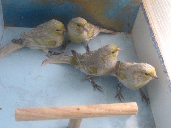 --Millésime  2011....première sélection....jaune mosaïque....
