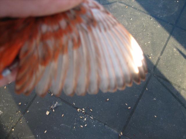 ailes-grises 88