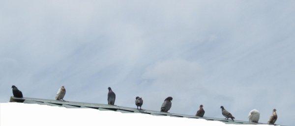 Une partie de mes pigeons
