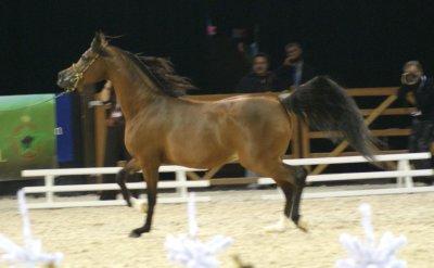 chamionnat du monde du cheval arabe les 11 et 12 decembre 2010