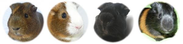 Un cochon d'Inde ou cobaye est un rongeur de taille moyenne, appartenant à la famille Caviidae et originaire de la Cordillère des Andes. C'est l'espèce domestiquée issue du cobaye sauvage.