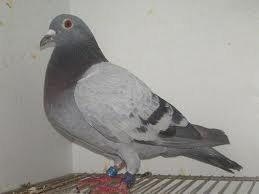 je suis a la recherche d'un pigeon males