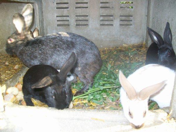 mais jeune lapins avec la mère