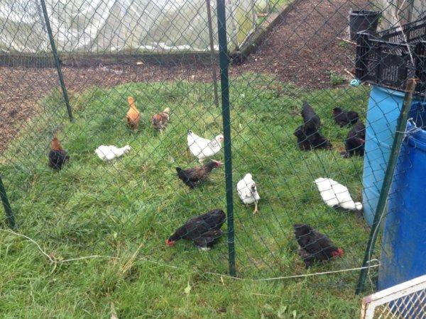 Mais jeune poussins de l année : nègre et soie(blanche et marron) , cayen , bantam de pékin et quelque poules pondeuse