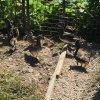 canard-poule