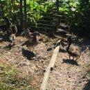 Photo de canard-poule