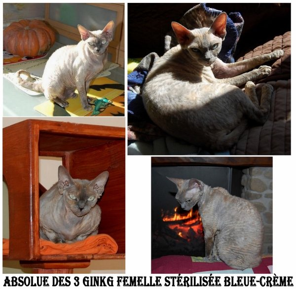 MES DEVON REX DISPONIBLES