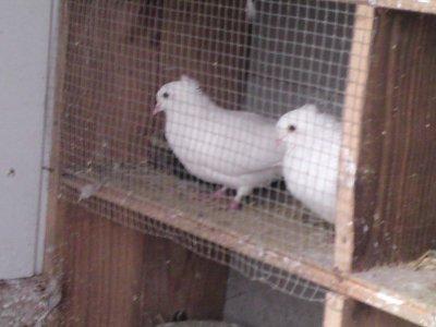 couple de HVS blanc