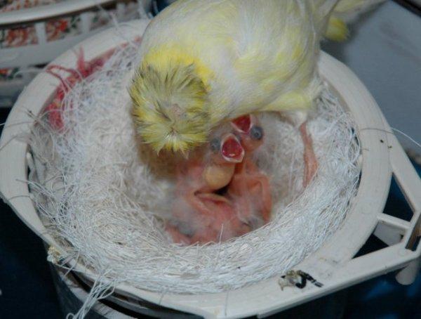 Las madres canario se comunican con sus polluelos en el huevo