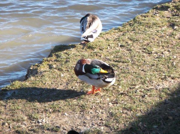 Un canard au soleil de Vernon acte 2