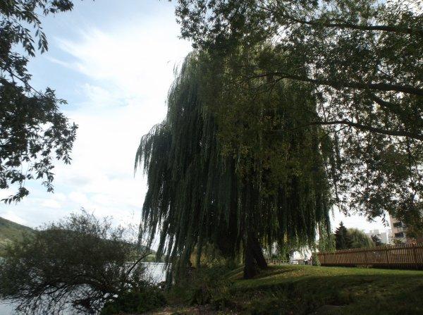 Un arbre au bord de Seine acte 2