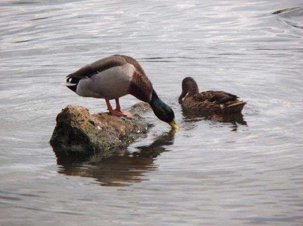 Un canard sur son rocher acte 2