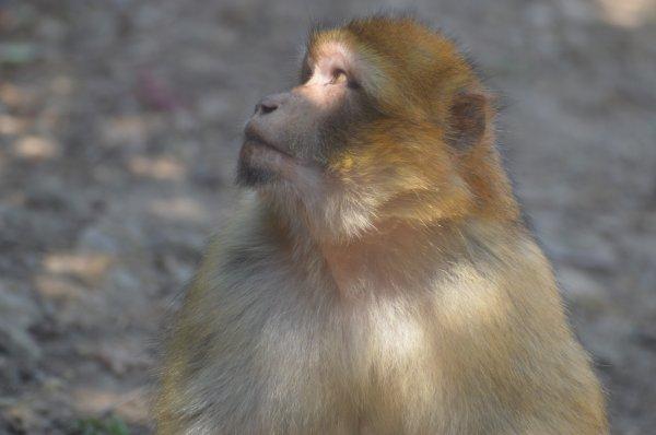 Un singe magot (2/2)