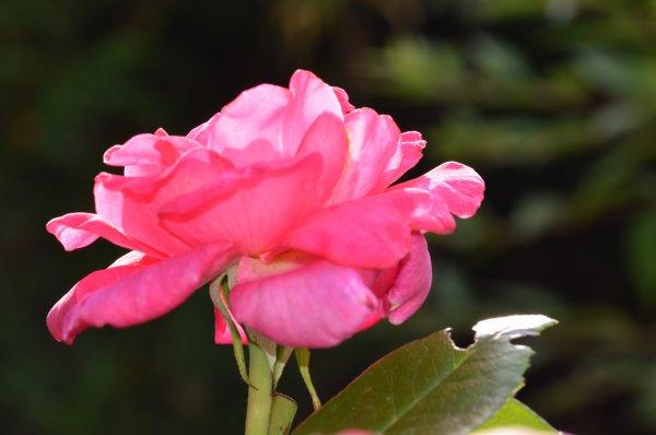 Encore un belle rose