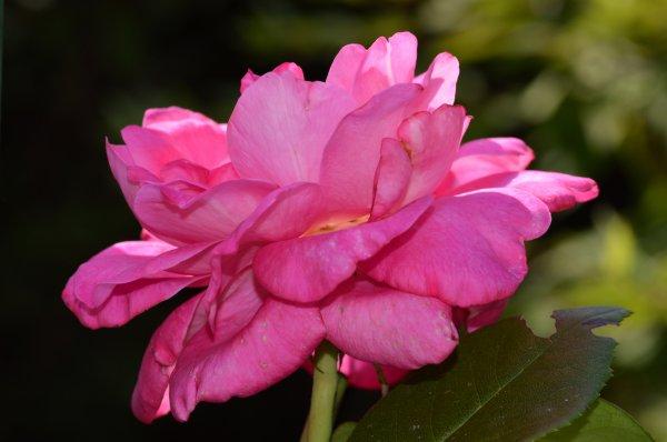 Une très belle rose