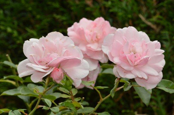 De belles roses
