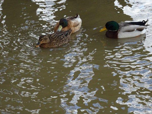 De beaux canards colvert (2/3)