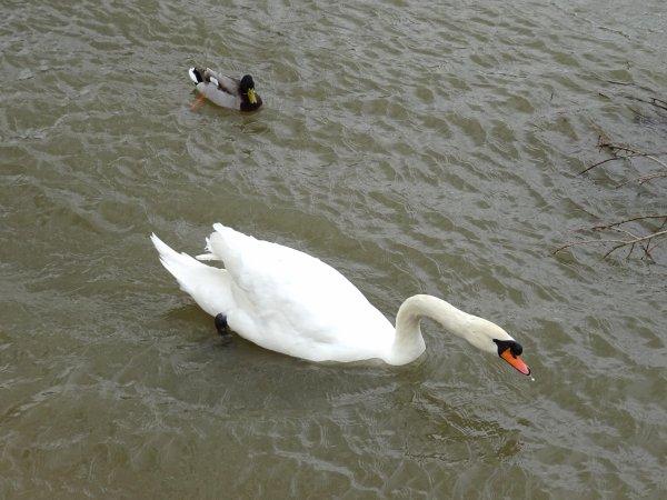 Un cygne près d'un canard