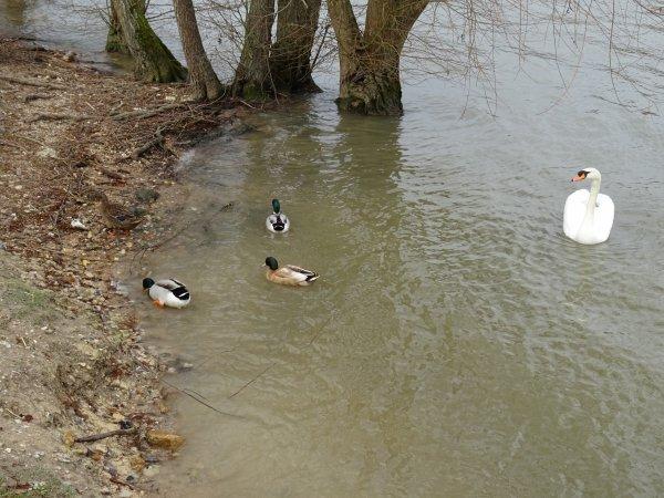 De beaux canards