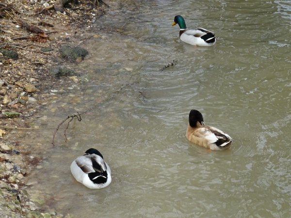 De beaux canards la suite