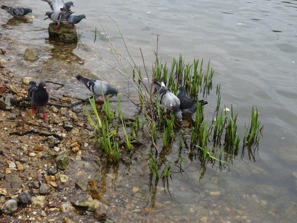 Des pigeons dans l'eau