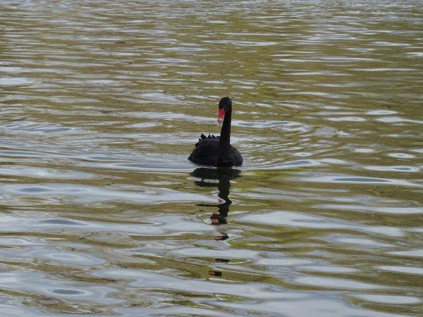 Un beau cygne noir (1/19)