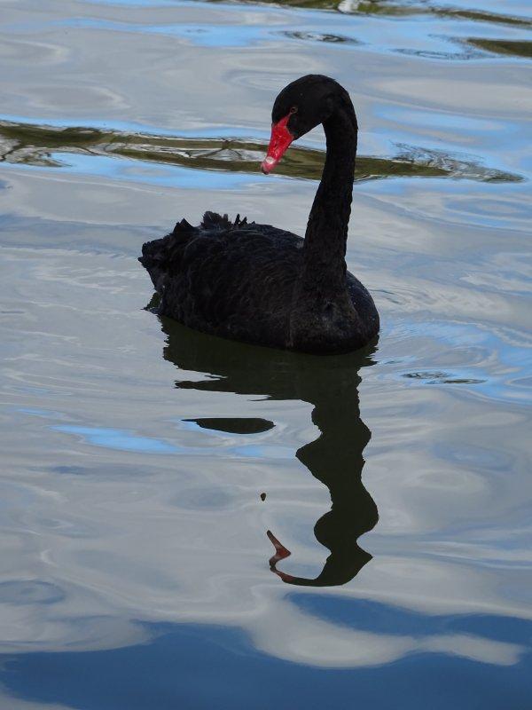Un beau cygne noir (3/19)