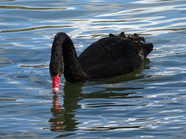 Un beau cygne noir (9/19)